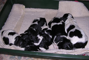 Puppies 18hrs